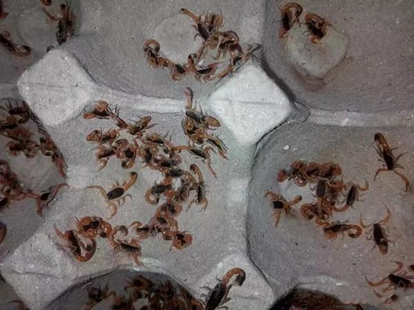 养蝎子能赚钱吗?自己在家养蝎子的养殖前景