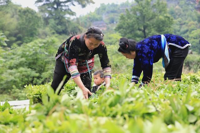 种植什么最赚钱?这6个种植赚钱项目很适合农村创业 第8张